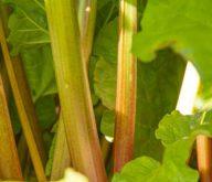Rhubarb Harvest – 2021
