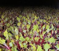 Forced Rhubarb at Place UK